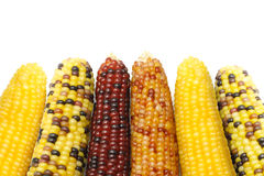 Dried Indian corns Stock Image