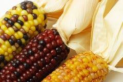 Dried Indian Corns Stock Photo