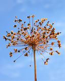 Dried inflorescence of allium Royalty Free Stock Photo