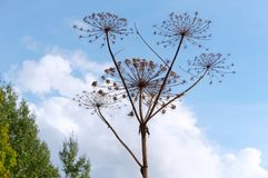Dried inflorescence of the plant cow parsnip, the dried plant is cow parsnip. The dried plant is cow parsnip, dried inflorescence of the plant cow parsnip stock images