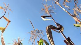 Dried inflorescences, stalks and leaves of corn. Swaying in the wind. Against the background of blue sky stock footage