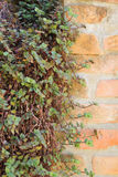 Dried ivy leaf on the wall Royalty Free Stock Photo
