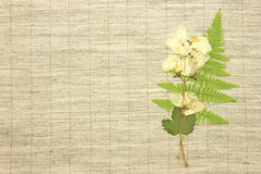 Dried jasmine Royalty Free Stock Photography