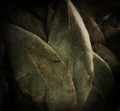 Dried laurel leaf horizontal background Royalty Free Stock Photos