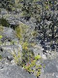 Dried Lava and New Vegetation Growth Royalty Free Stock Photos