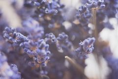 dried lavender flowers and bouquet with lavender royalty free stock images
