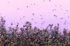 Dried lavender flowers close up on purple background, empty space for text stock image