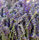 Dried lavender flowers Royalty Free Stock Image