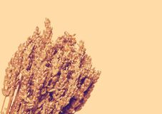 Dried lavender on a white background Stock Photography