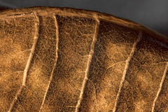 Dried leaf. Fine details and very high-res for backgronds Stock Image