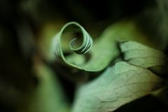 Dried leaf curled like a spiral. Close up nature stock image