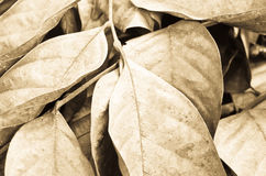 Dried leaf Royalty Free Stock Photos