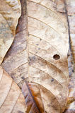 Dried leaf Stock Photography