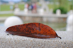 Dried Leaf. Leaf dry leaves  autumn background Royalty Free Stock Photos