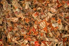 Dried leaf grapevine covering the ground. Top view Stock Images