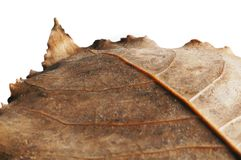 Dried leaf isolated on white Stock Photo