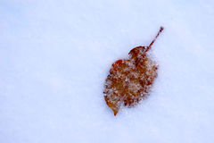 Dried leaf lying in the snow Royalty Free Stock Photos