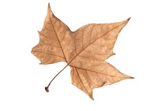 Dried leaf of maple. Isolated of white Royalty Free Stock Image