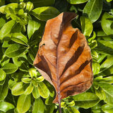 A dried leaf orange tree lies on the young green leaves. Royalty Free Stock Photos