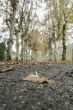 A dried leaf on road surrounded by trees in autumn Royalty Free Stock Image