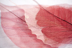 Dried Leaf skeleton Stock Photography