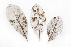 Dried Leaf Skeleton Stock Image