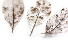 Dried Leaf Skeleton Stock Photo