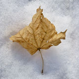 Dried leaf in snow Royalty Free Stock Photo