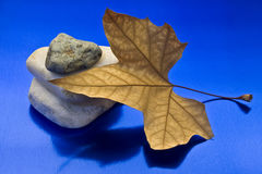 Dried leaf and stone. Showing a leaf and stones on a blue background Stock Image