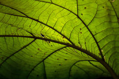 Dried leaf teaxture. With light transparent in nature Royalty Free Stock Photo