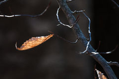 Dried Leaf on a Tree Branch Stock Images