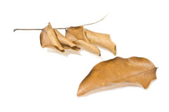 Dried leaf Royalty Free Stock Image