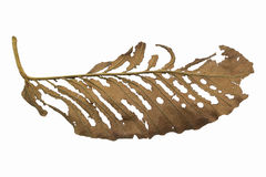Dried Leaf. On white background Royalty Free Stock Images