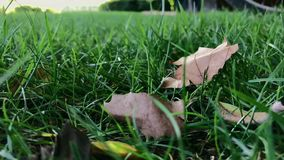 Dried leafs lie down in green grass on windy day. Slow motion, shot on mobile phone stock video