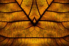 Dried Leave. An abstract of dried leave with thick and thin veins revealed by back-lighting Royalty Free Stock Photo