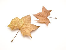 Dried leave Stock Image