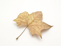 Dried leave Royalty Free Stock Photography