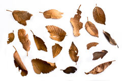 Dried leaves. On a white background Stock Image