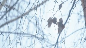 Dried leaves against the background of sky. Dried leaves against the background of bare branches and sky. Winter season stock video footage
