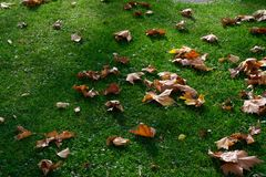 Dry leaves in autumn sunshine on grass, sun shining on fallen leaves. royalty free stock image
