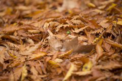 Dried leaves at autumn Stock Photography