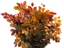 Dried leaves. Autumn plant, orange leaves Stock Photo