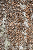 Dried leaves background wall texture. This is an image of an old grey wall with cracks and dried brown leaves growing on it stock image