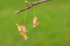 Dried leaves on branch Royalty Free Stock Photos