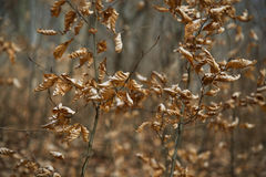 Dried leaves on branches, dramatic closeup Royalty Free Stock Photos
