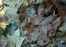 Dried leaves carpet. Brown and green dried leaves royalty free stock image