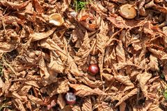 Dried leaves and chestnuts in autumn royalty free stock photos