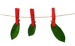 Dried leaves are drying on washing line Stock Photos