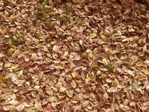 Dry leaves on ground for background. The dried leaves fall on the ground for use as a background image Royalty Free Stock Photo