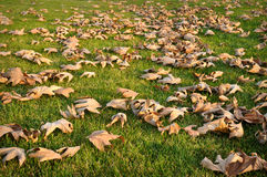 Dried Leaves on Green Grass Royalty Free Stock Photography